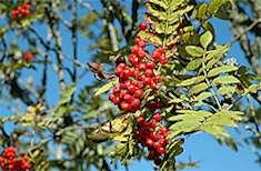 Rönnbär, Källa: Wikipedia, foto: Marcus Bornestav